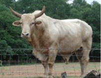 Brahman Cow with Dewlap