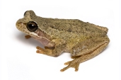 Brown_Tree_Frog