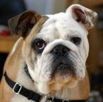 bulldog-is-skeptical