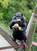 chimp with fruit