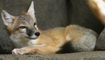 Fox resting