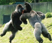 gorilla fight