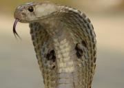 Indian cobra head