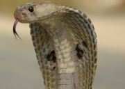 Indian cobra head