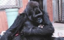 koko the gorilla and kitten