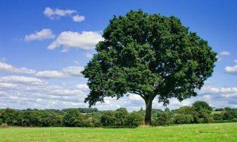 Oak Tree in Clearing