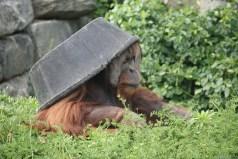 Orangutan Tub