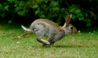 rabbit runing away