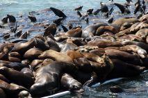 sea lion pile