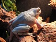 Tree Frog