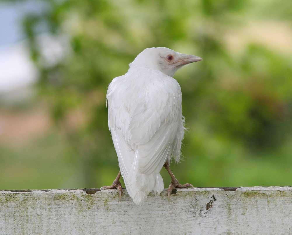 the white crow - photo #4