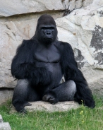 Gorilla_gorilla_gorilla_01