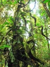 jungle-vines