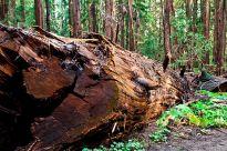 fallen tree forest