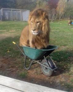 lion in a wheelbarrow
