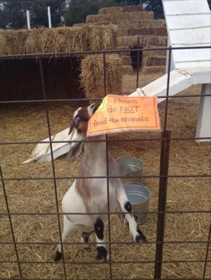 goat eats sign