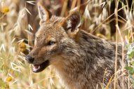 jackal head