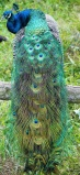 peacock sitting